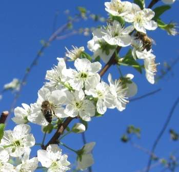 bee on the plum