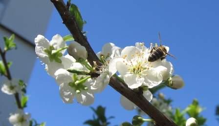abeja en rama de ciruelo