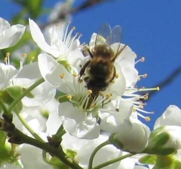 abeja en flor de ciruelo