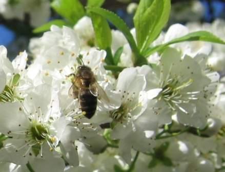 Flor de ciruelo con abeja